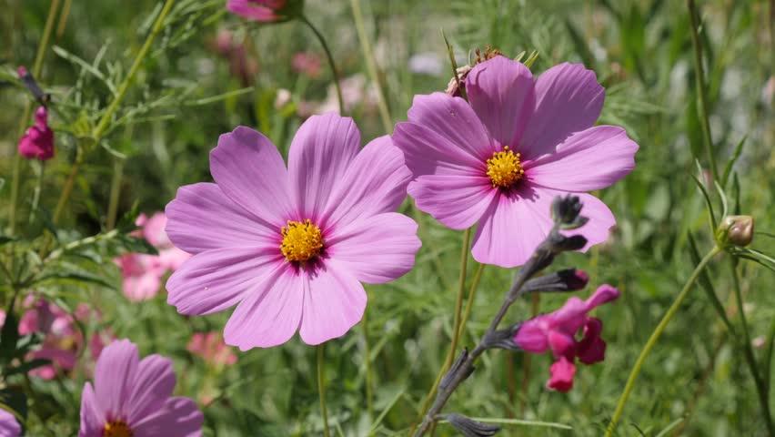 Цветок космея Выращивание из семян Когда сажать Посадка и уход в открытом грунте Фото сортов