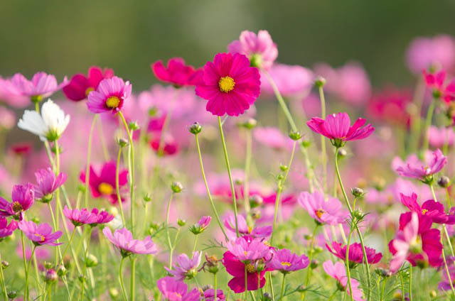 космея выращивание из семян