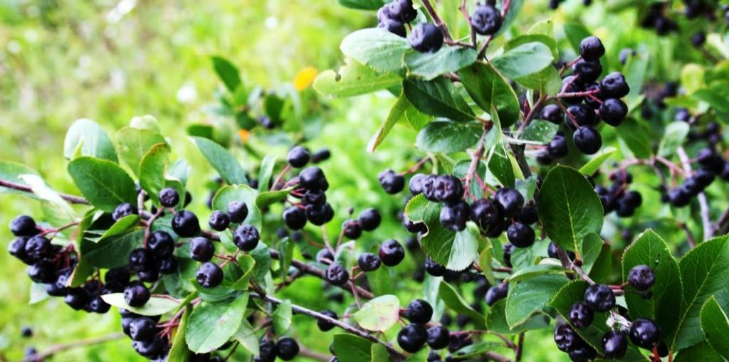 свойства черноплодной рябины