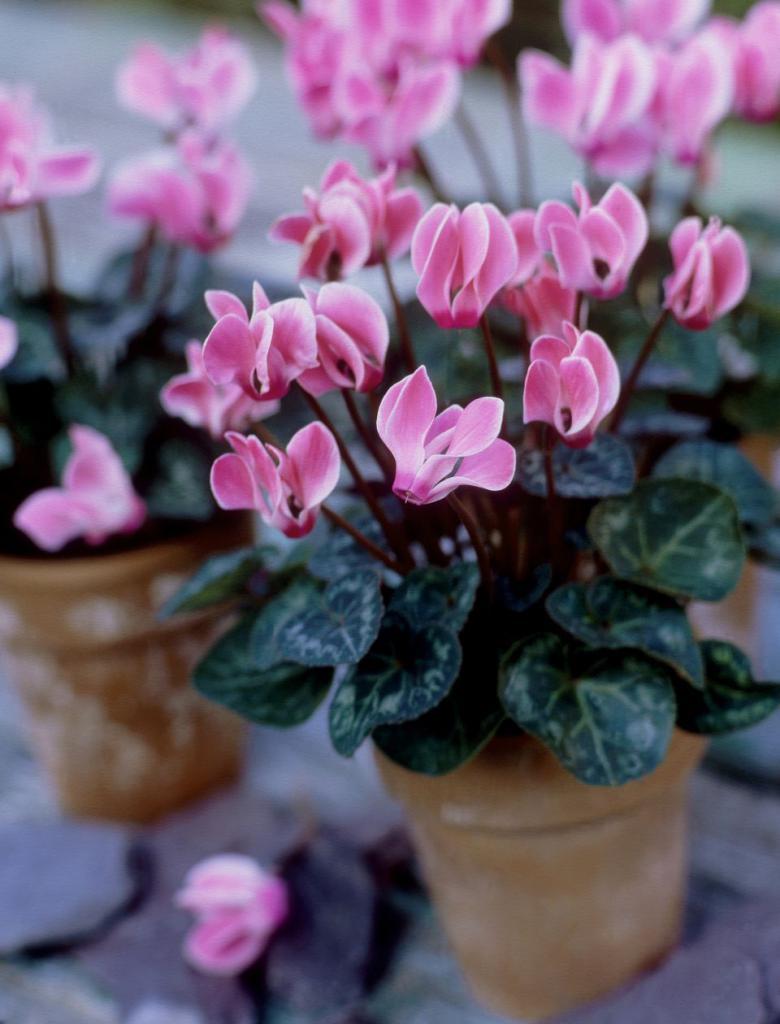 Цикломения цветок уход пересадка размножение