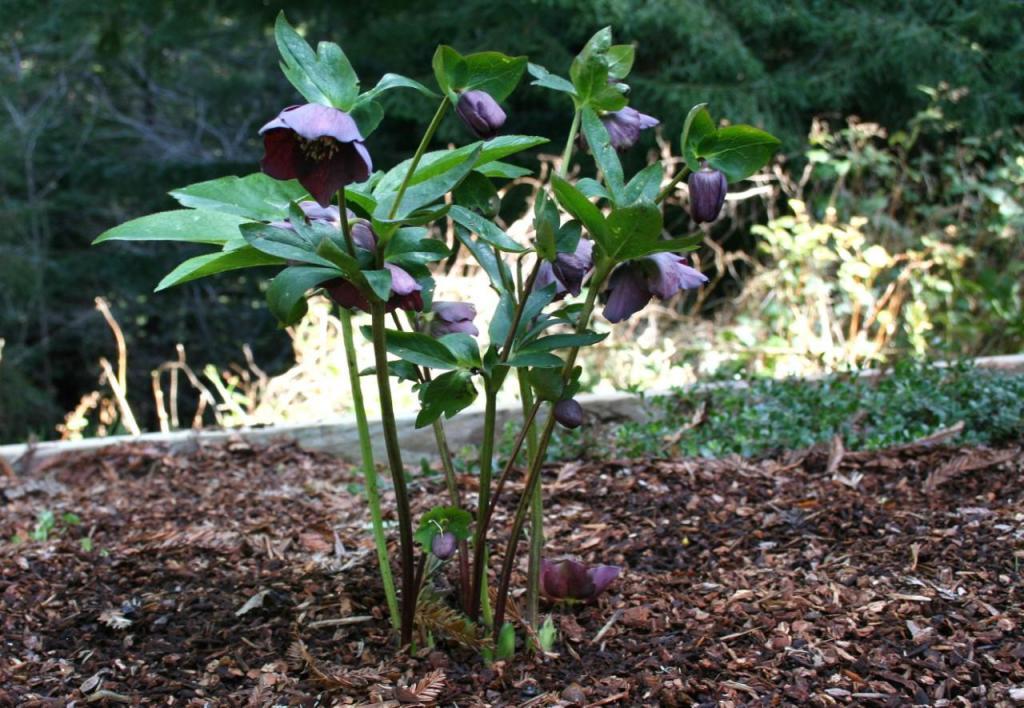 цветок морозник фото описание