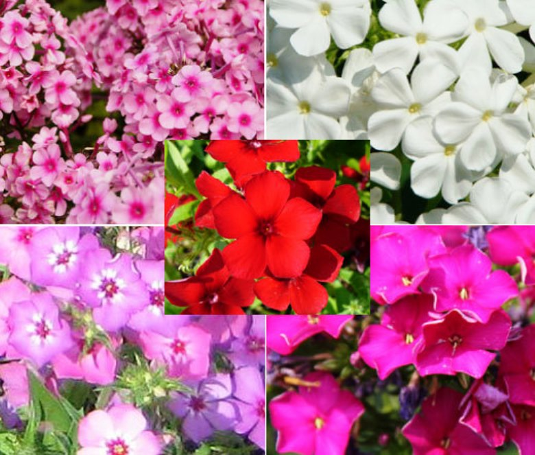Многолетние цветы флоксы: посадка и уход за растением