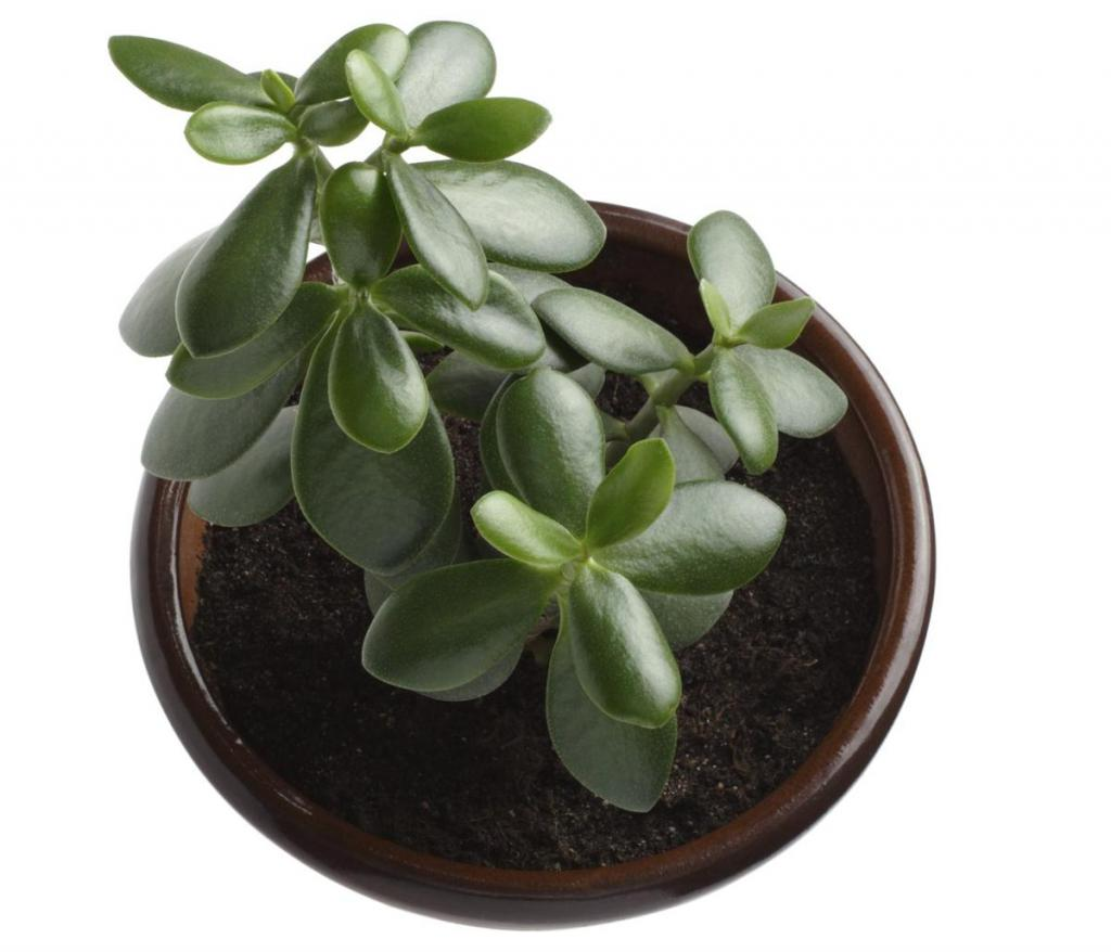 Денежное дерево: уход в домашних условиях, цветение и размножение, фото