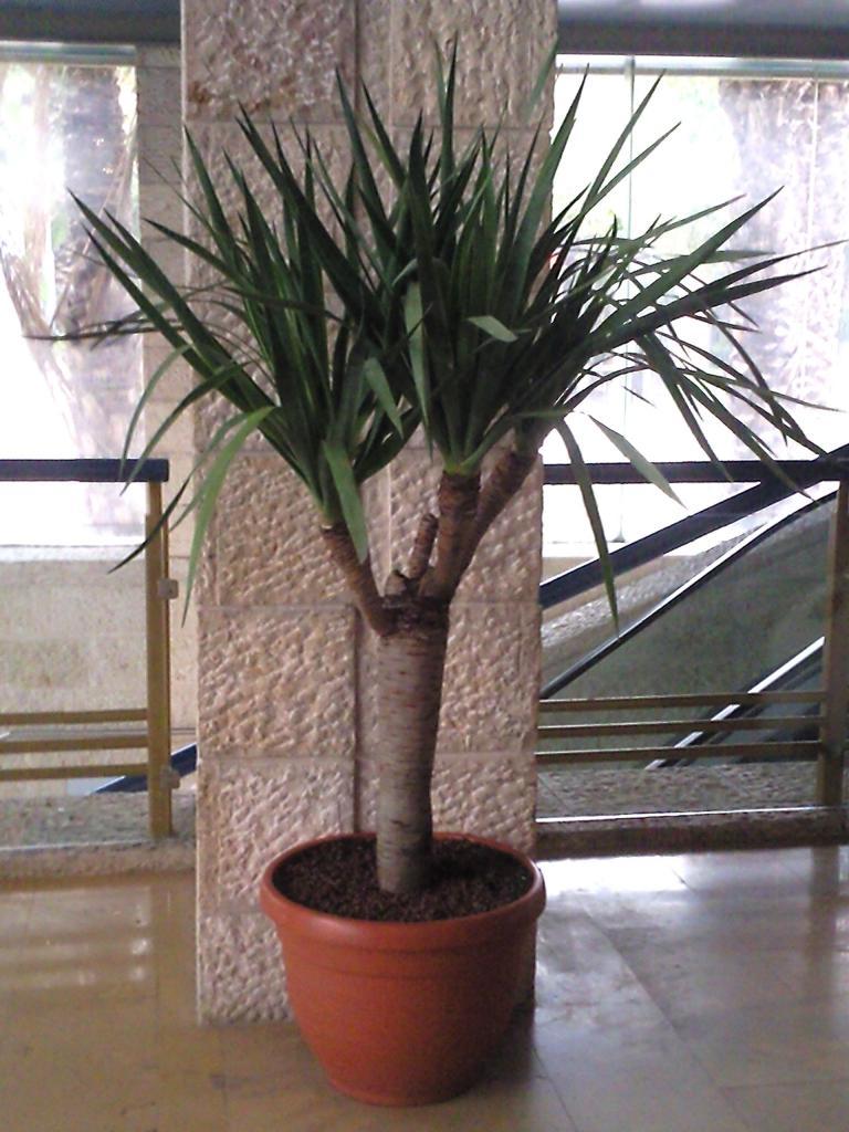 драконовое дерево фото комнатное растение они кителях, как