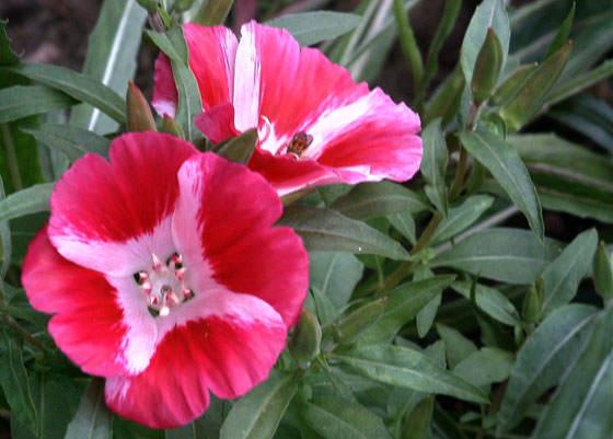 Красно-белые цветы годеции