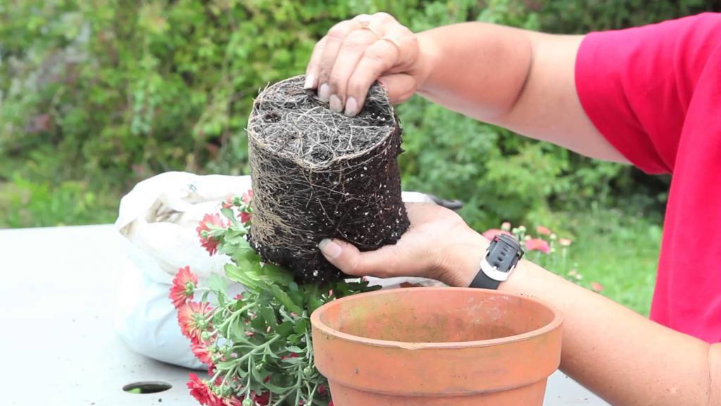 пересадка хризантемы в горшке