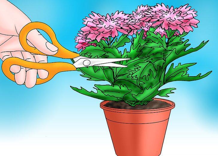 обрезка хризантемы в горшке