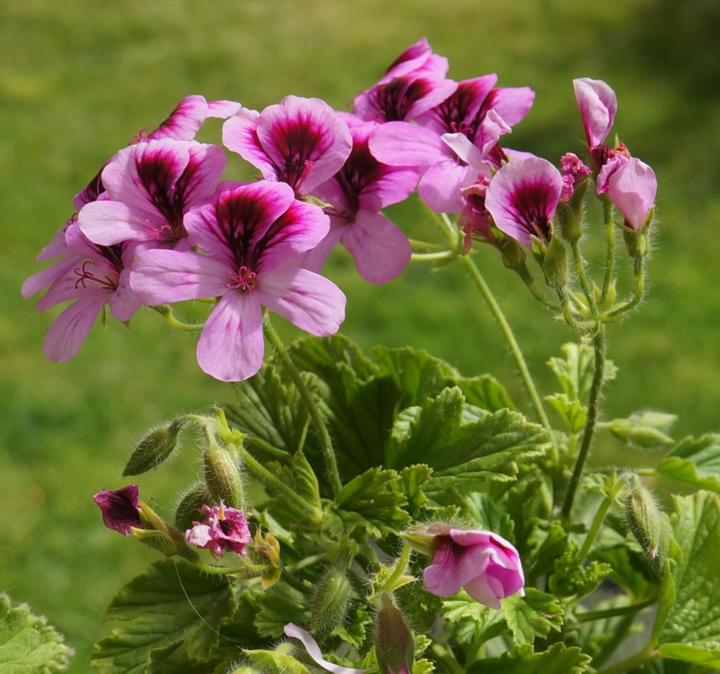 Герань розово-фиолетовая