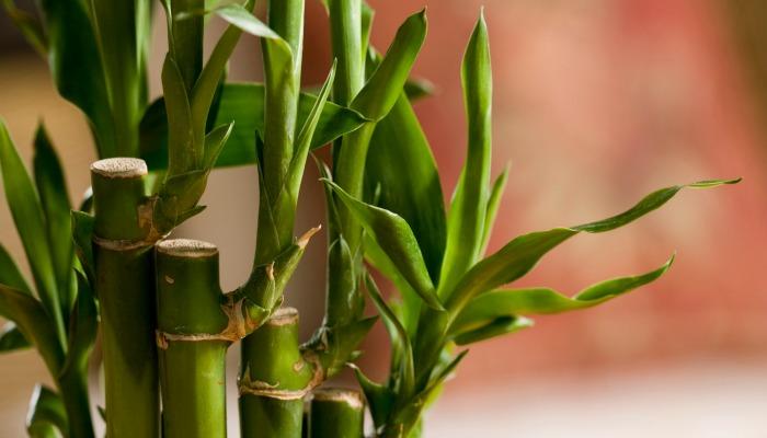 Как поливать бамбук в домашних условиях