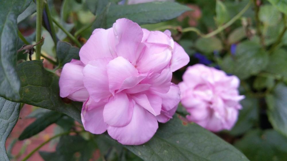 розовая калистегия