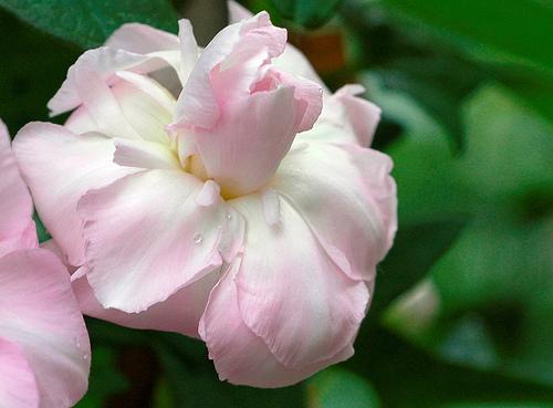бело-розовая калистегия