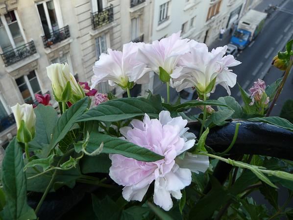 калистегия на балконе