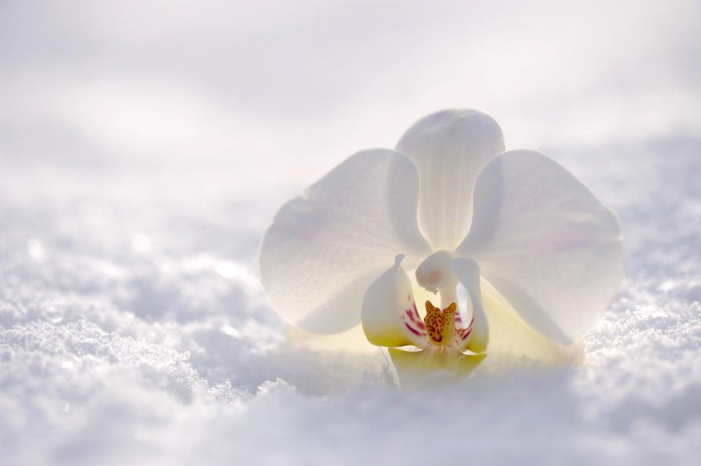 орхидея в снегу