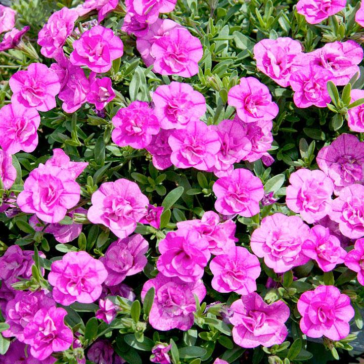 розовая калибрахоа