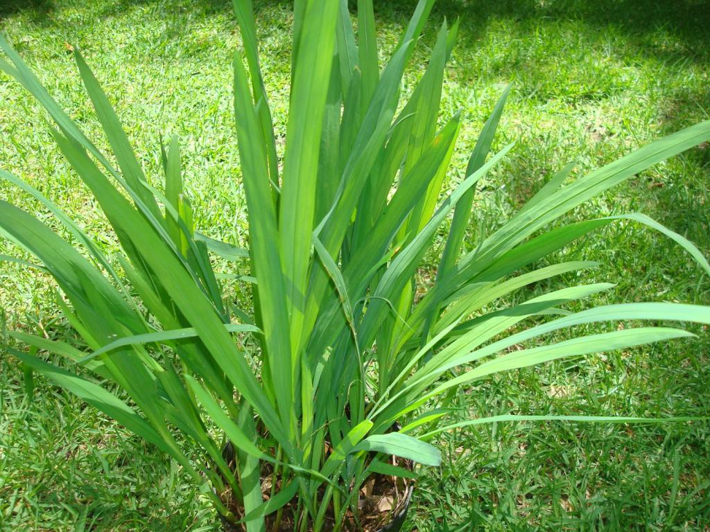 Листья растения монтбреция
