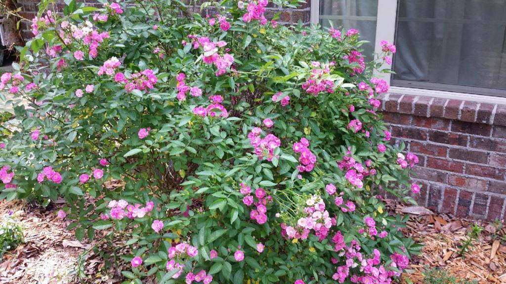 Шток роза выращивание из семян рассадой