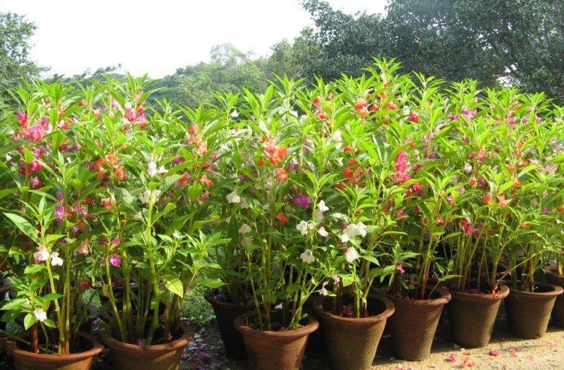 Цветок бальзамин садовый: фото