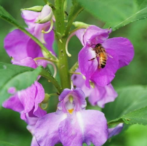 Бальзамины: выращивание и уход