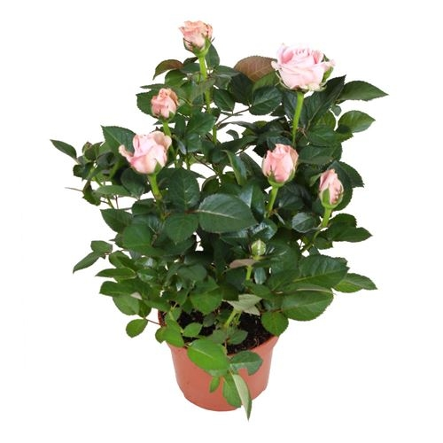 Декоративная розы