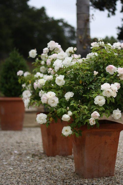 Белые комнатные розы