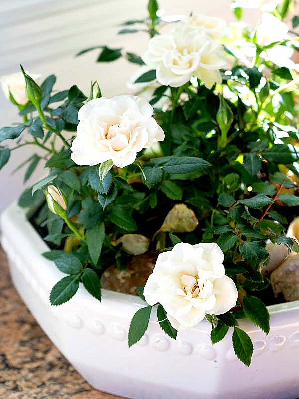 Комнатная розы в белом горшке