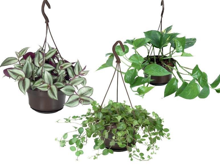Кудрявые комнатные растения