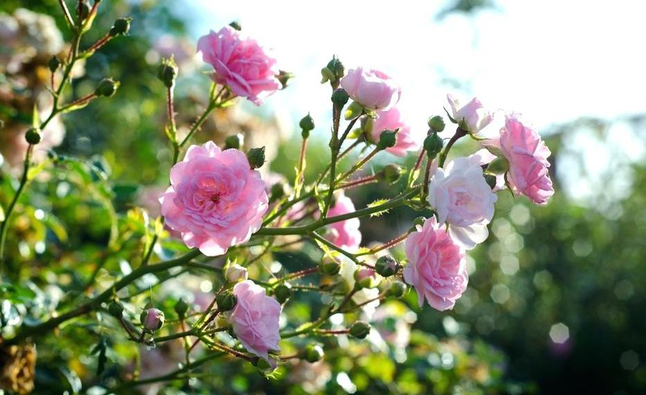 Веточка полиантовой розы