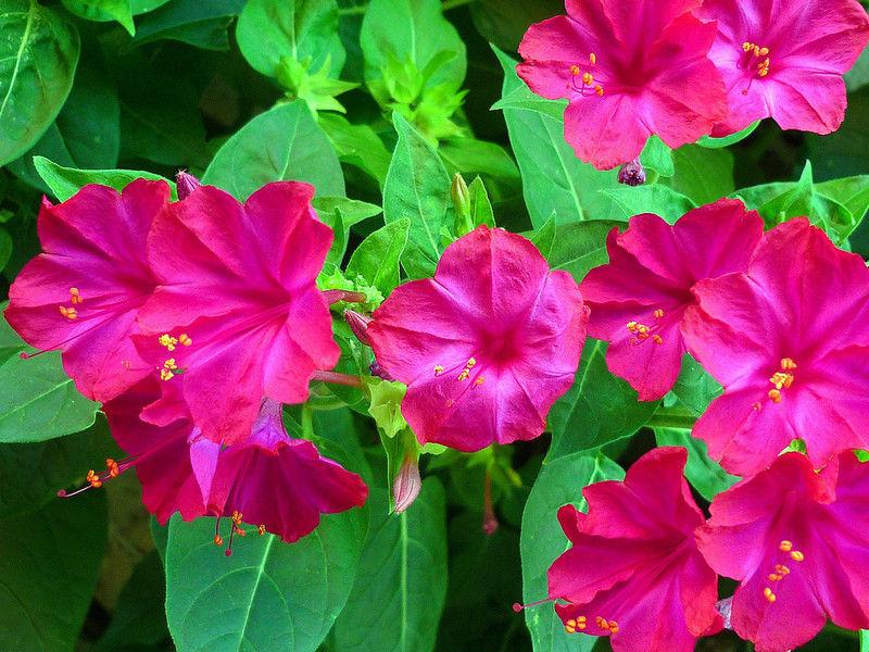 ночная красавица цветок фото посадка и уход