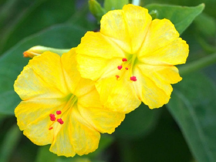 цветок ночная красавица фото и описание