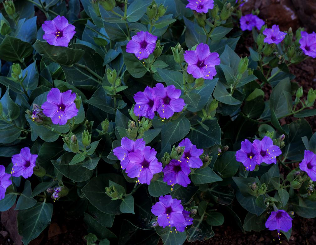 цветы ночная красавица посадка и уход фото
