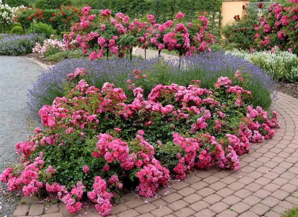 Почвопокровные растения: розы
