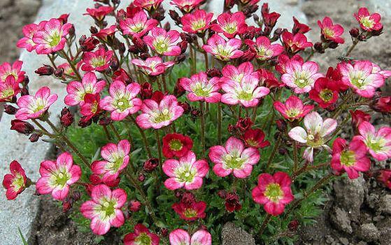 Почвопокровные растения: камнеломка