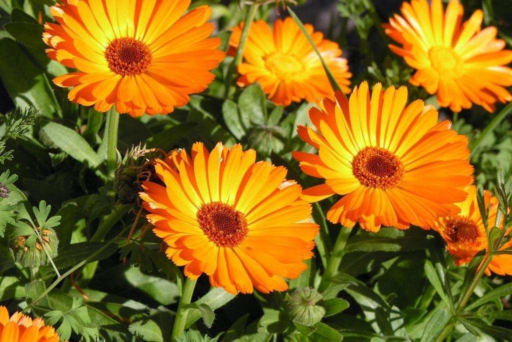 Календула (цветки): лечебные свойства, описание, польза в медицине 804
