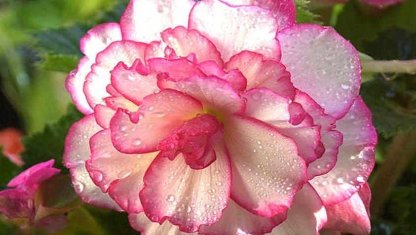 Цветок бегонии с каплями росы