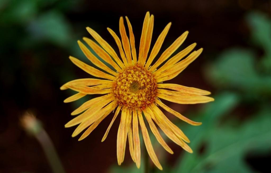 Тонкоцветковая циния