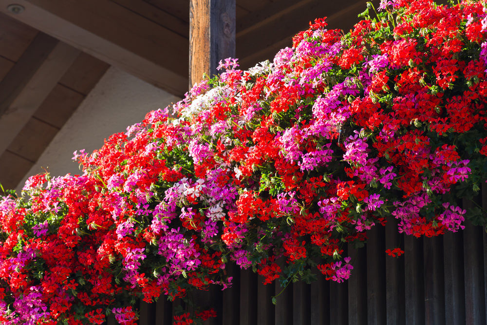 Цветы для балкона цветущие