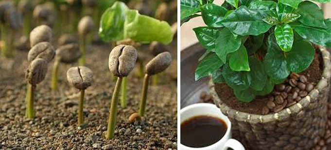 Кофе из семян