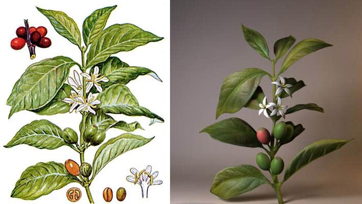Ботаническое описание кофе