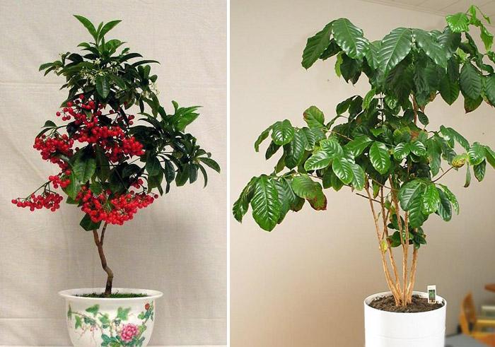 Растение кофе дома
