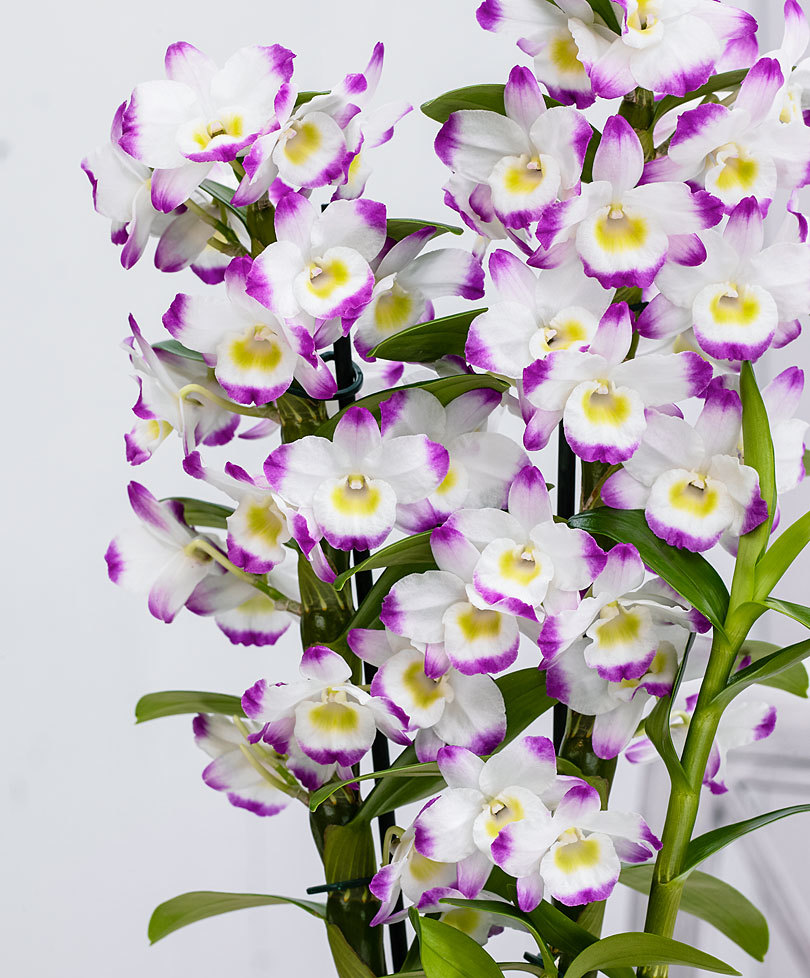 Цветок дендробиум