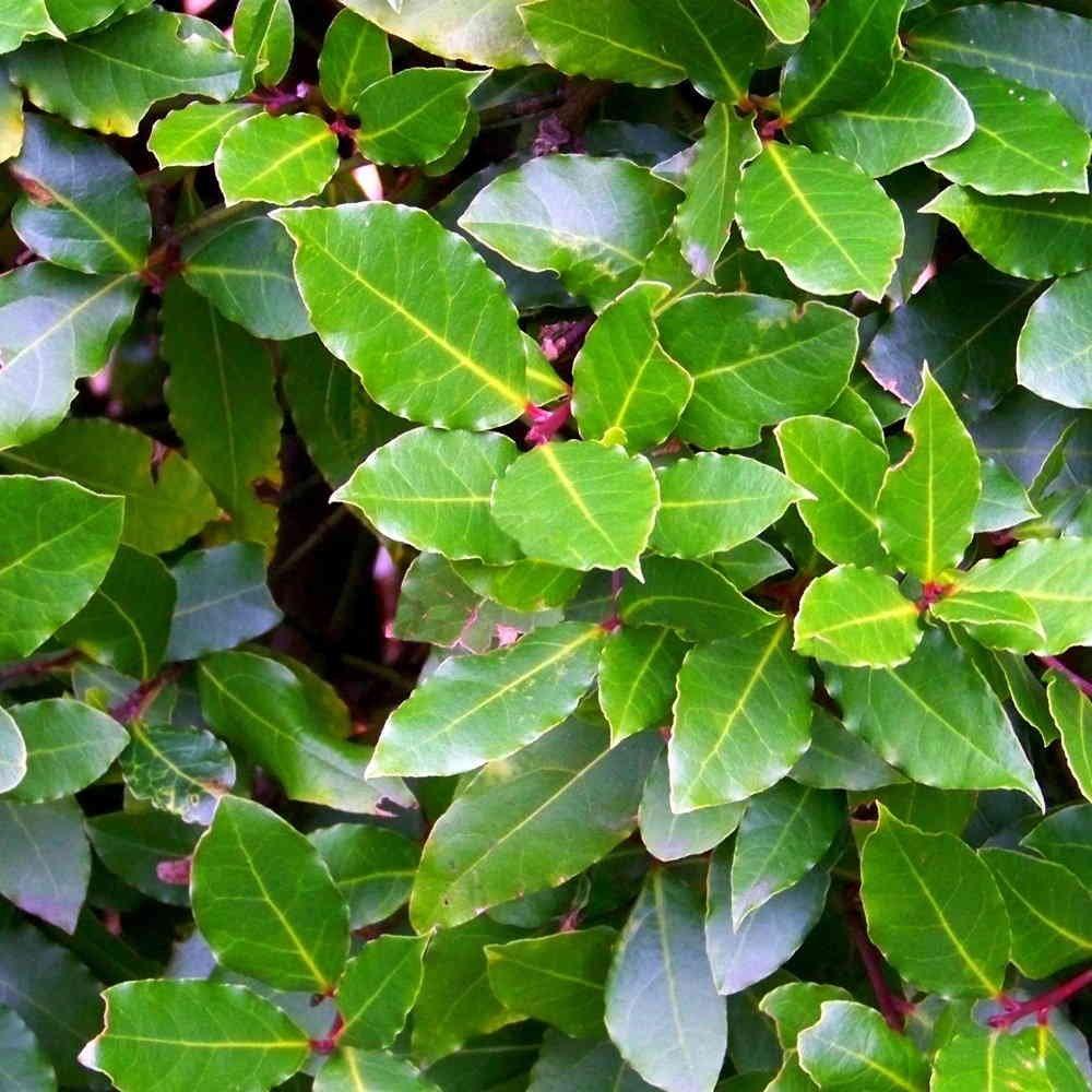 Лавровый лист: выращивание в горшке и уход в домашних условиях, болезни. Как размножить лавровый лист в домашних условиях отростком, черенками, как вырастить из семян?