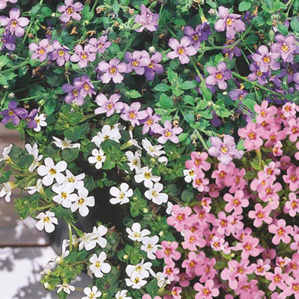 расцветки бакопы