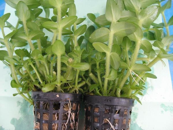 как посадить семена бакопы