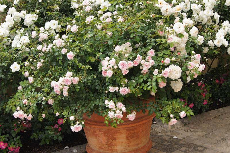 Как размножить розу черенками в домашних