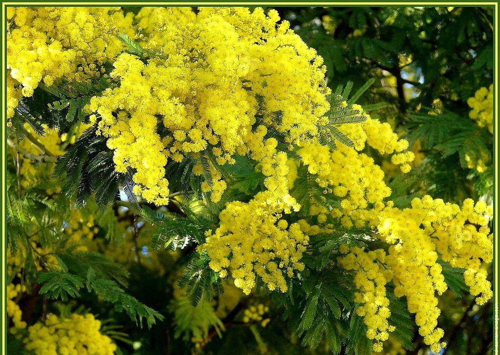 Где купить дешевые цветы мимозы, цветы