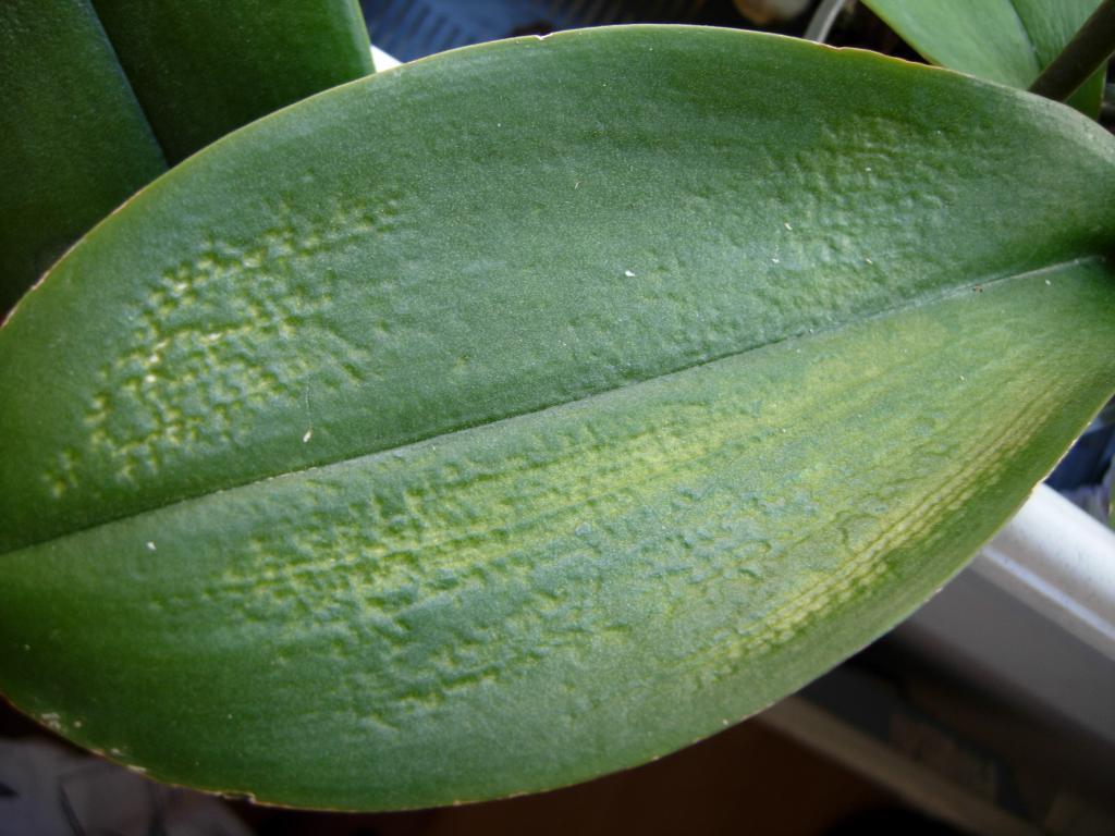 пересадила орхидею желтеют листья