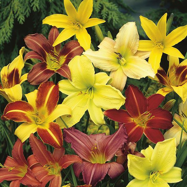 разноцветные лилейники