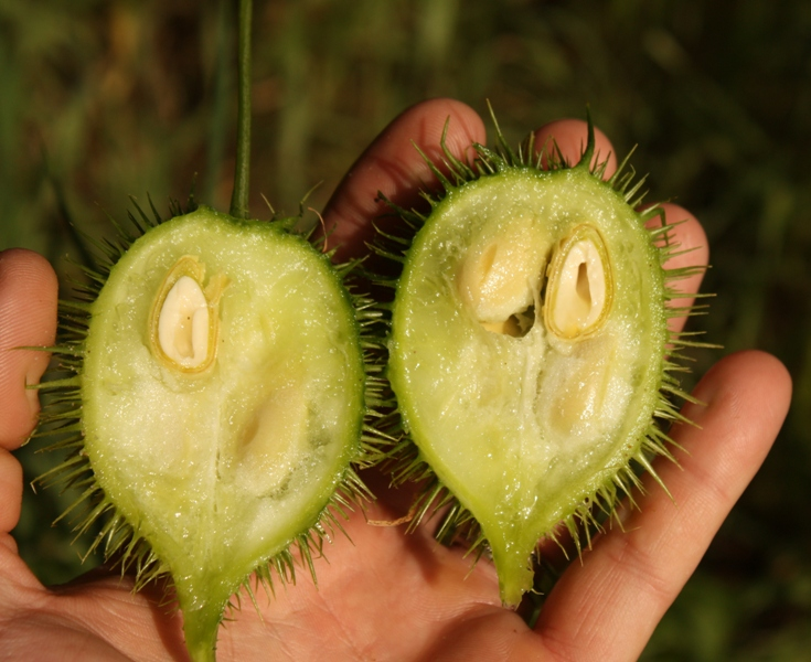 незрелое семя