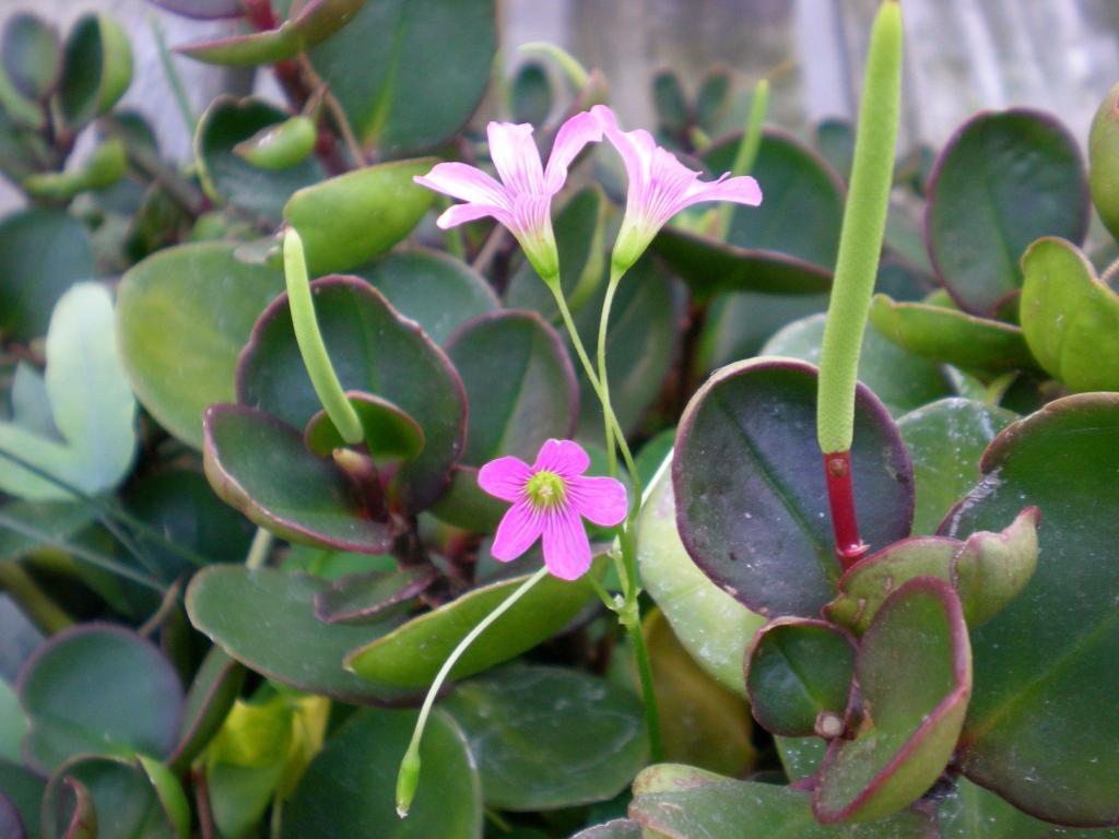 Пеперомия комнатный цветок