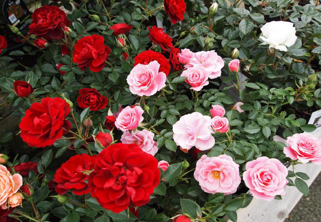 Уход за розами в домашних условиях: как ухаживать за мини микс, парад микс и патио микс